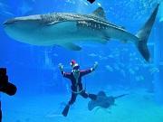 海遊館に「サンタダイバー」登場 水槽からメリークリスマス