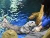 海遊館・ラッコのパタが国内最高齢21歳に カラフルな「バースデー氷」に大興奮