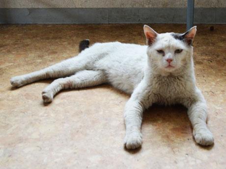 甲子園直前も、マイペースな白猫のトミ