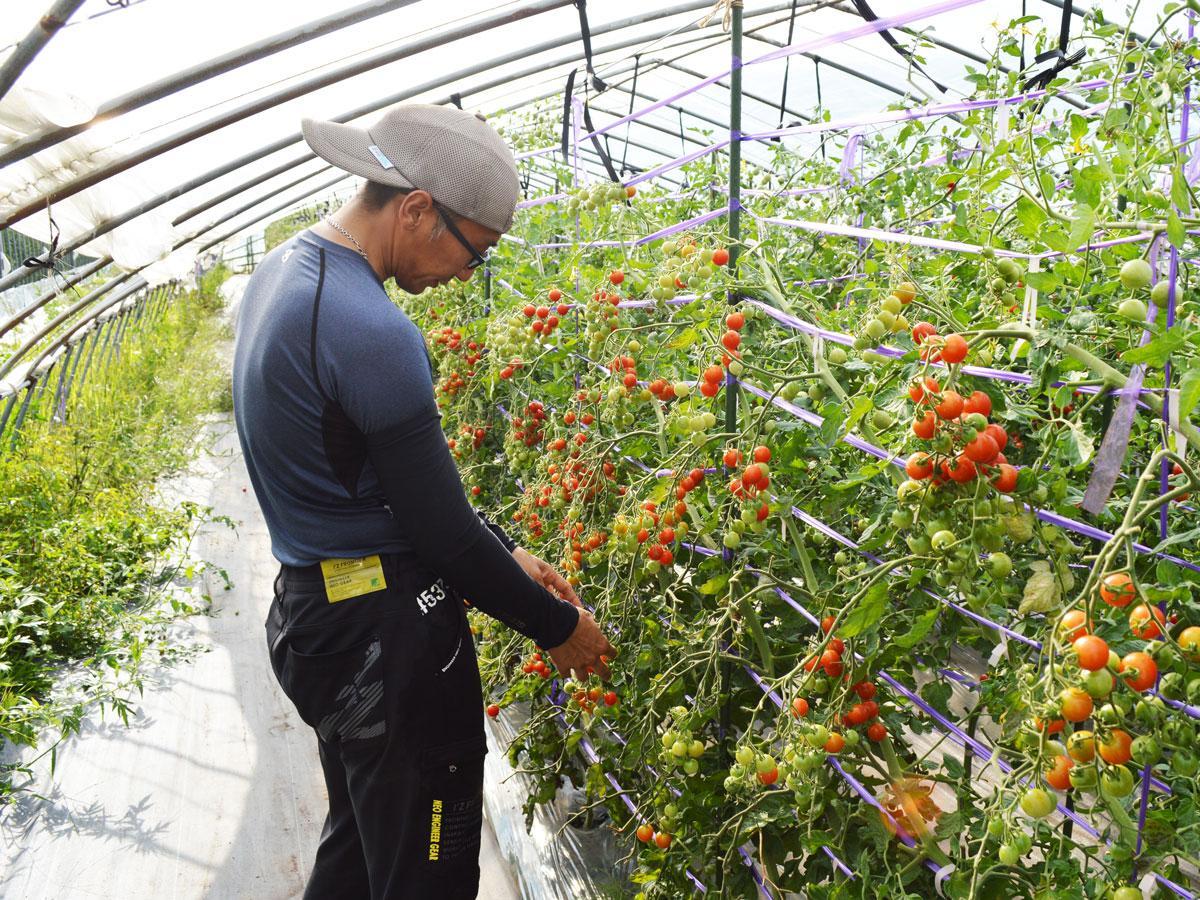 トマトを収穫する渡邊さん