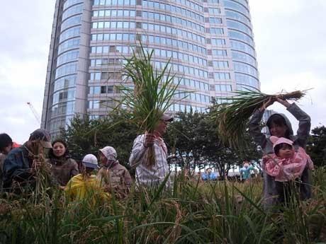 田んぼに入り、収穫を迎えた稲を刈る人々