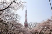 東京タワー、今年も桜色に 気象庁の桜開花宣言に合わせ実施