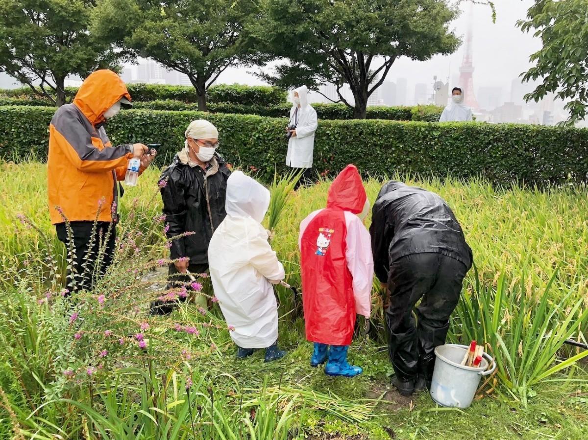 六本木ヒルズ屋上で恒例の稲刈りイベント 親子50人が参加