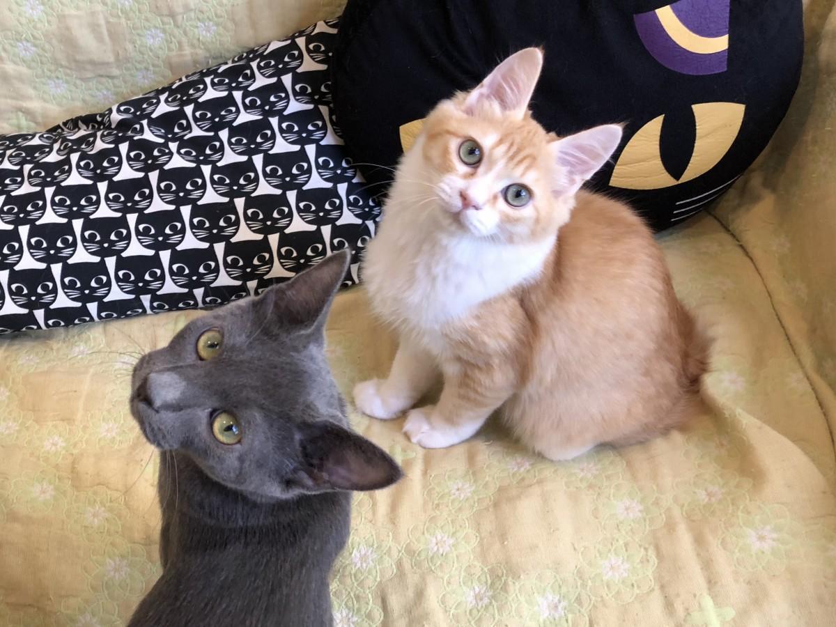 「猫カフェコロン」で保護されている「もも太」(右)と「バーフ」(いずれもオス)