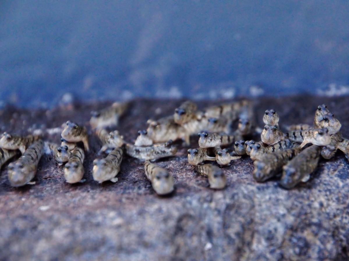 有明海で見られるトビハゼの集団(写真提供=飯田豊一さん)