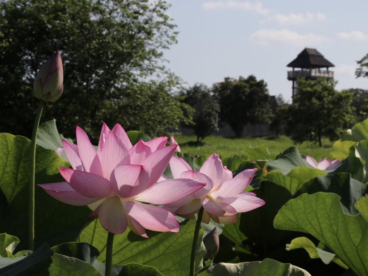吉野ヶ里歴史公園の物見やぐらを後ろに見ながら咲く「大賀ハス」