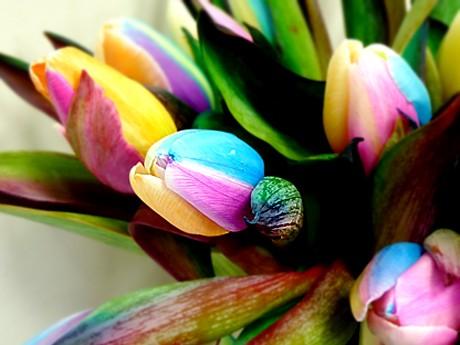 虹色のチューリップ「レインボー・チューリップ」