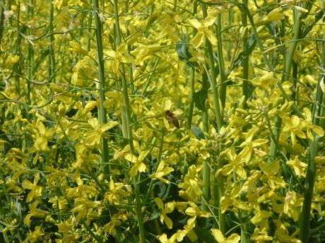 プチヴェールの花とミツバチ(昨年の様子)