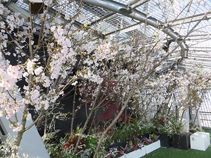 展望フロアで満開の桜