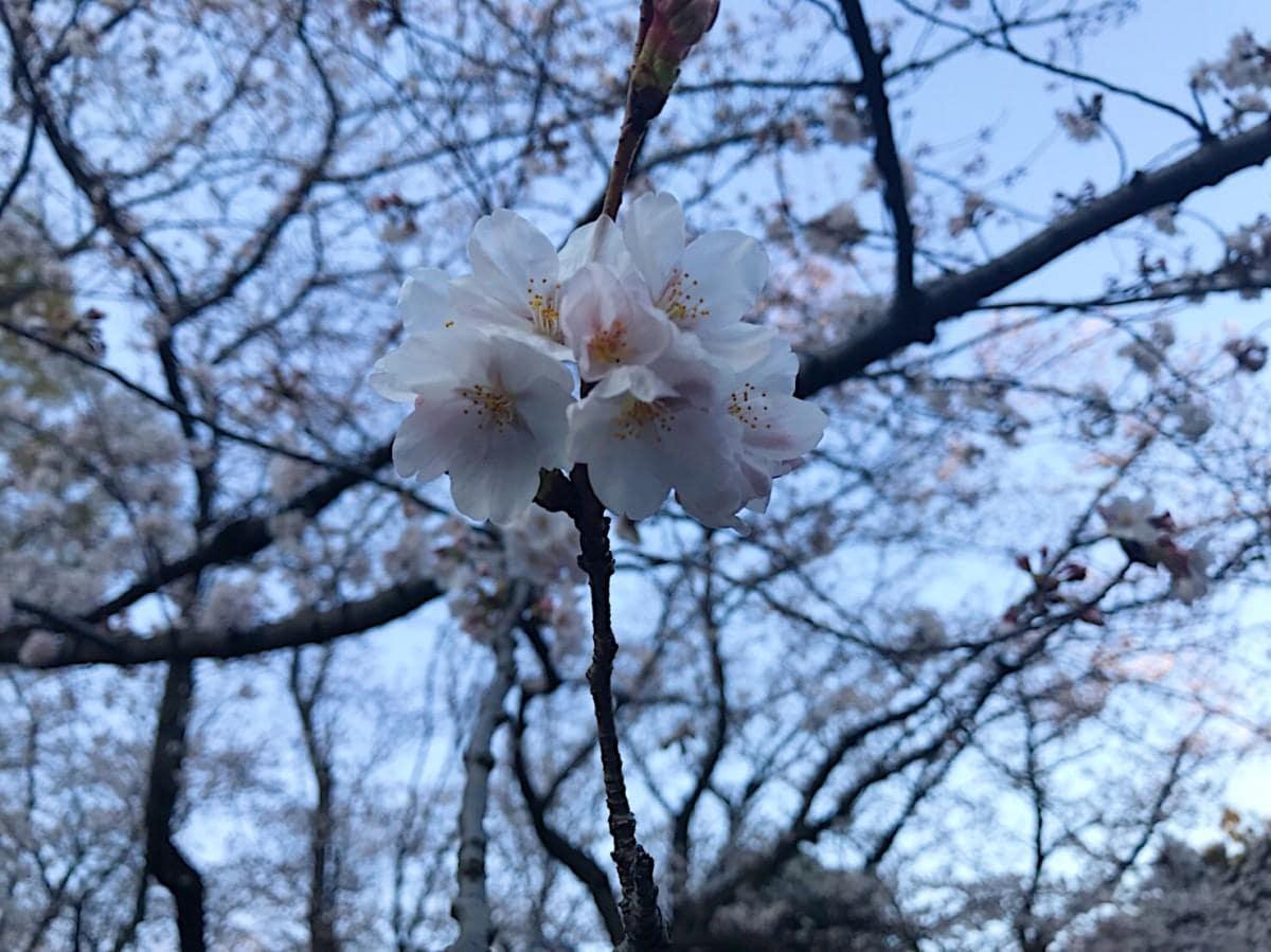 汗ばむような日差しを受け、開花した桜