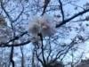 世田谷公園の桜が満開 花見客らでにぎわう