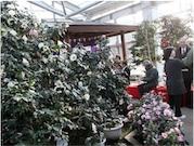 大船渡で「つばきまつり」 開花に合わせ550種類展示