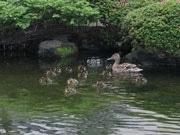 マガモのひな、今年も13羽誕生-札幌グランドホテルの庭園で