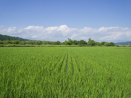 むかわ町米農家「小坂農園」の田んぼ