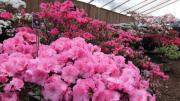 札幌の百合が原公園で「アザレア展」 温室に約150種類200鉢のアザレア