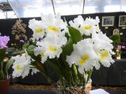 札幌の百合が原公園で洋ラン展 温室に93種類97鉢の華やかな洋ラン展示