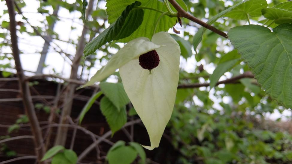 枝先の白いハンカチ「ハンカチノキ」