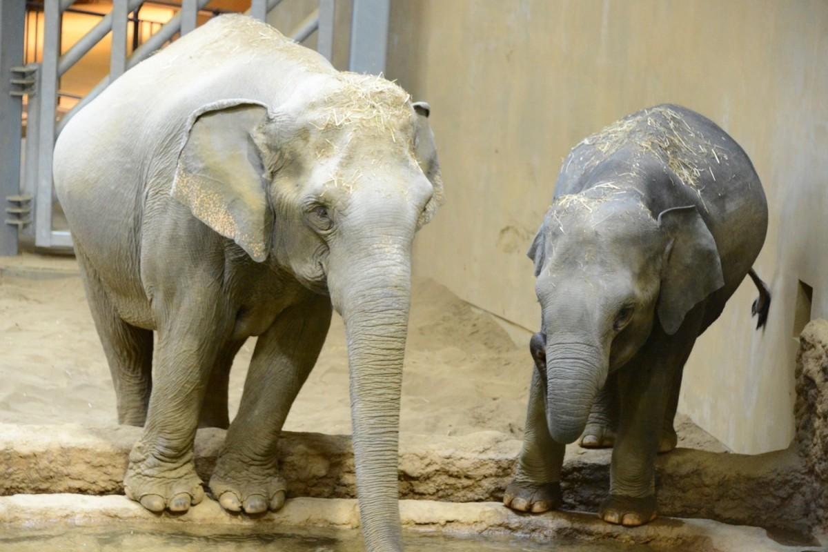 今回展示されるゾウ。雌27歳(左)・雌5歳(右)