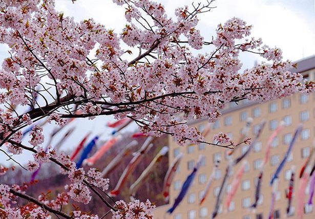 鮮やかなこいのぼりと桜のコントラスト
