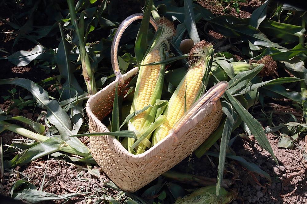 岩見沢・矢尾農場で収穫した新鮮なトウモロコシに合う料理を提供する