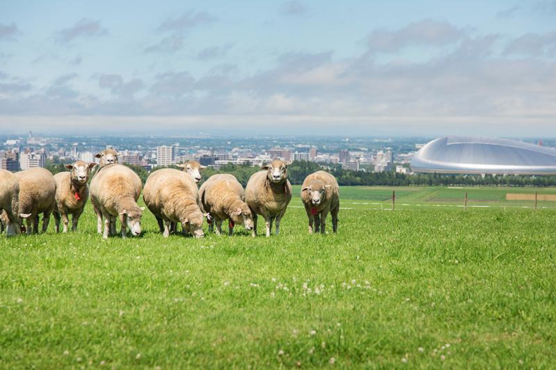 羊の様子(さっぽろ羊ヶ丘展望台提供)