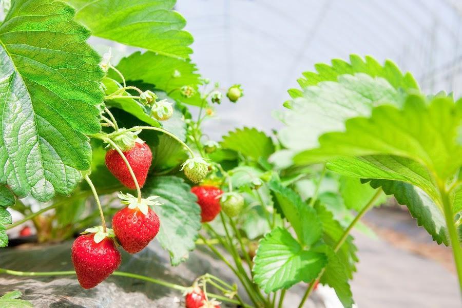 ハウス内で栽培されているイチゴ