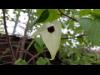 枝先の白いハンカチと言われる「ハンカチノキ」 札幌の百合が原公園で開花