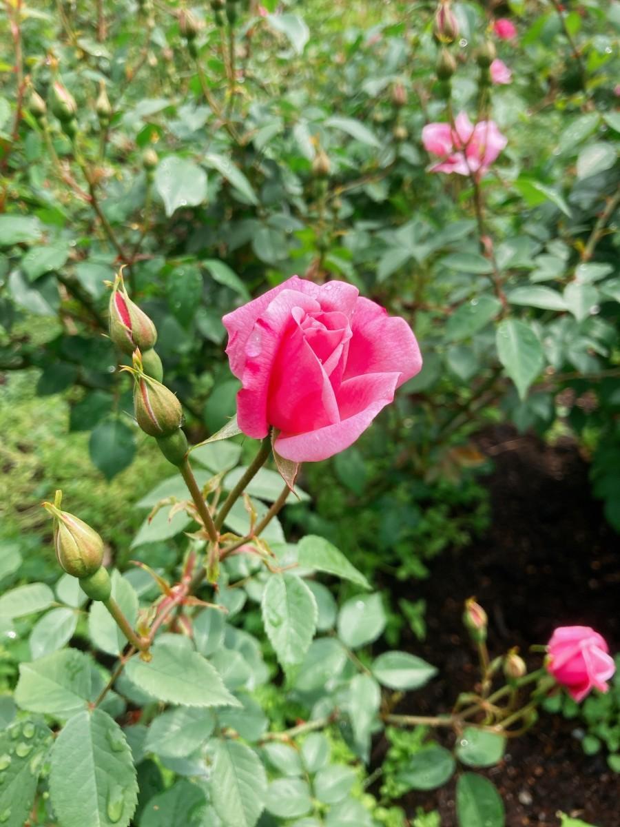 咲き始めたバラと膨らむつぼみ