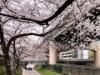 大阪・東横堀川沿いの桜が見頃 例年よりやや遅れてほぼ満開