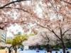 靱公園の桜が満開に 平日昼も花見客でにぎわい