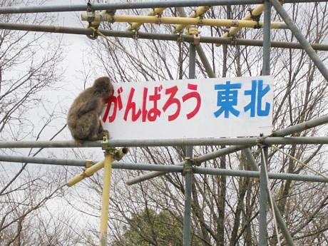 「がんばろう東北」と書かれたプレートをのぞき込むサル。八木山動物公園で