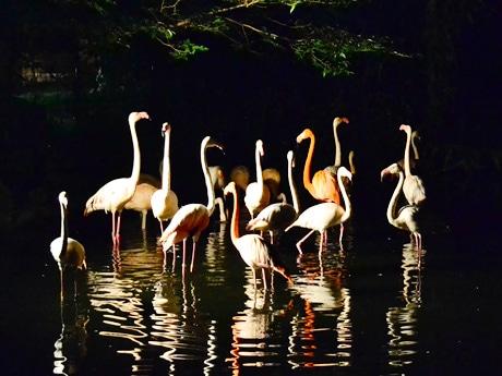 夜間営業の見どころの一つ、フラミンゴ。ライトに照らされた姿が水面にも映し出される