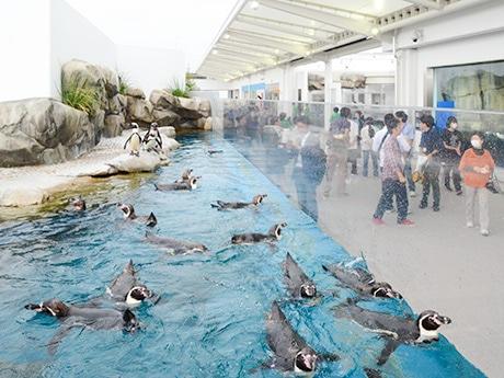 松島水族館から引っ越してきたペンギンも真新しい館内で関係者を出迎えた