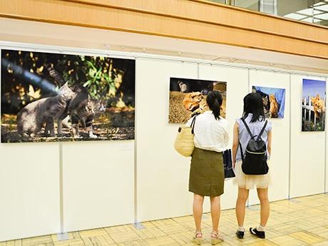 仙台三越のミニ写真展「ねこのとけい」会場。伸び伸びした猫の姿が切り取られた岩合さんならではの写真が並ぶ