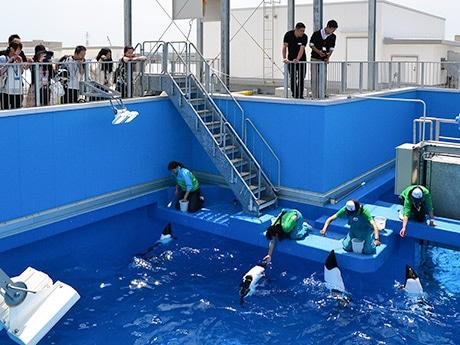 普段立ち入りできないプールの上からイロワケイルカの姿を観察した「サクラちゃんいってらっしゃいツアー」