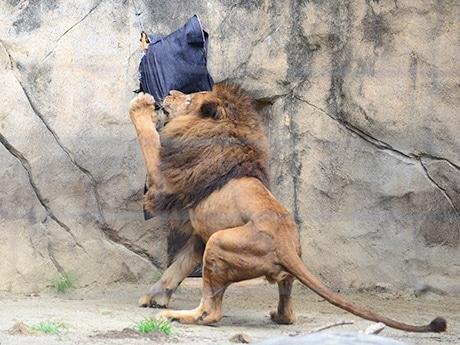 遊具に巻き付けたデニムにかみつく雄ライオンのカーチス