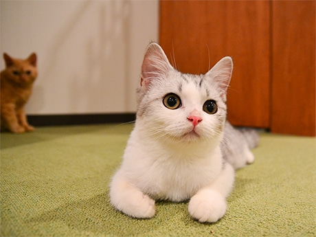人懐っこい性格という一番人気の猫スタッフ、セルカークレックスの銀牙