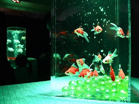 仙台・さくら野百貨店で「ミヤテレアクアリウム」 25種1000匹展示、光で演出