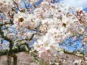 仙台で桜が満開 市内の公園は4~5部咲き、週末は暖かく花見日和に