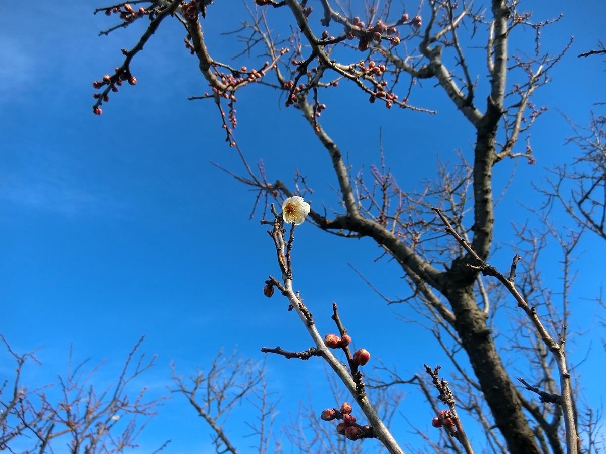 開花した冬至梅。間もなく開きそうなつぼみも