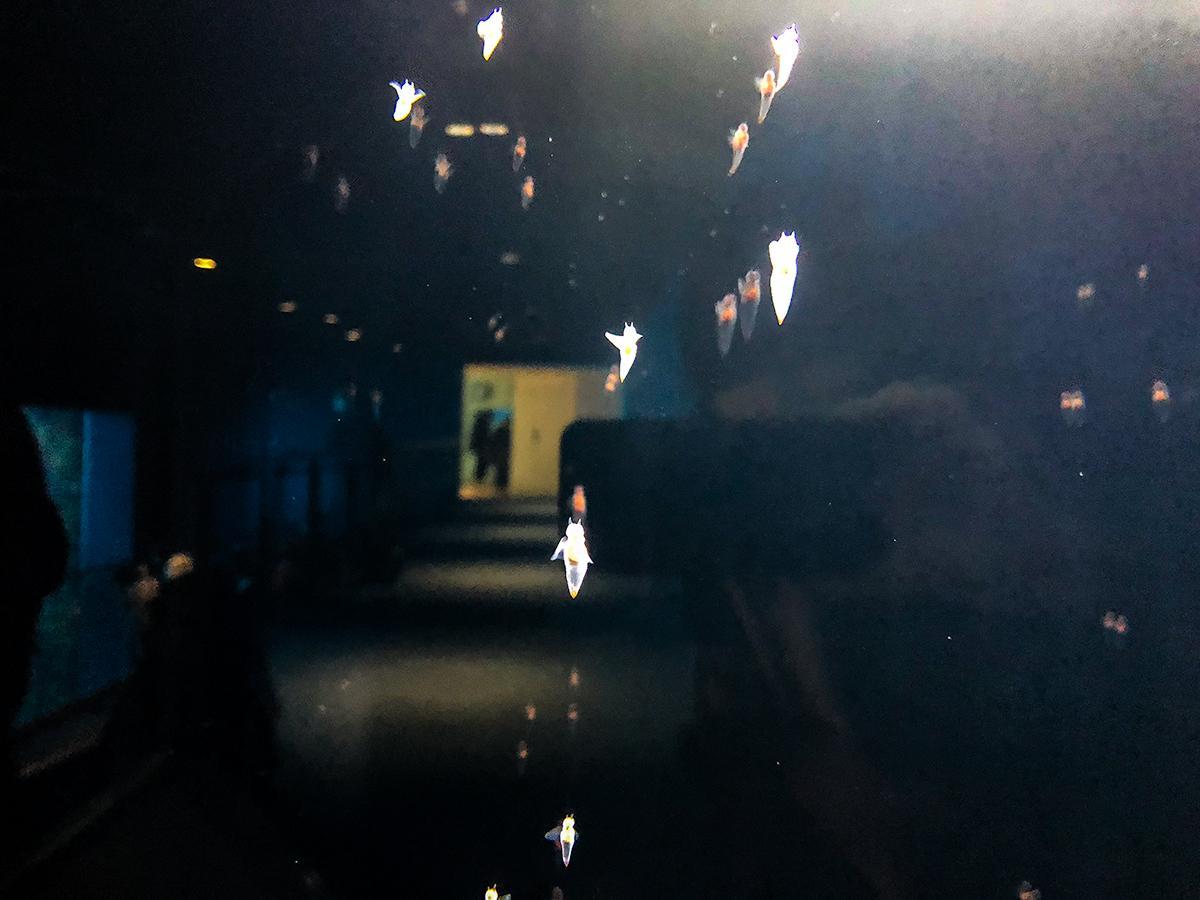 バレンタイン・ホワイトデーに合わせて仙台うみの杜水族館に初めて展示されたクリオネ