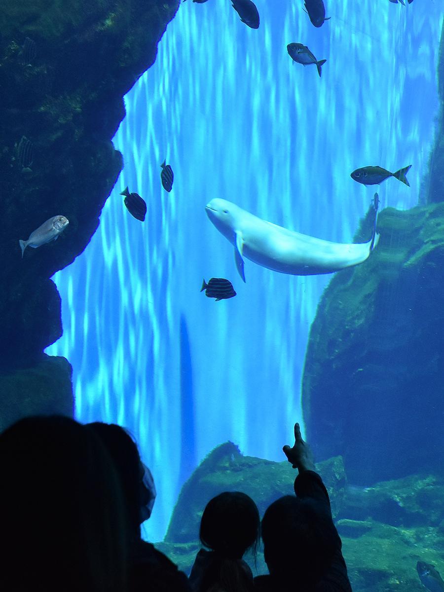 大水槽「いのちきらめく うみ」で来館者の前に姿を見せたスナメリ