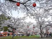 桜満開の仙台、市内の名所で花見ピークに ライトアップやイベントも