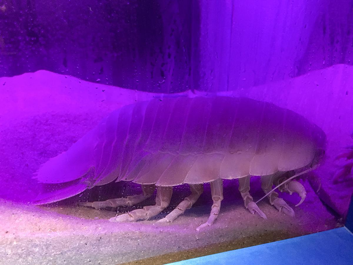 リニューアルした「深海 未知のうみ」コーナーに展示されているダイオウグソクムシ