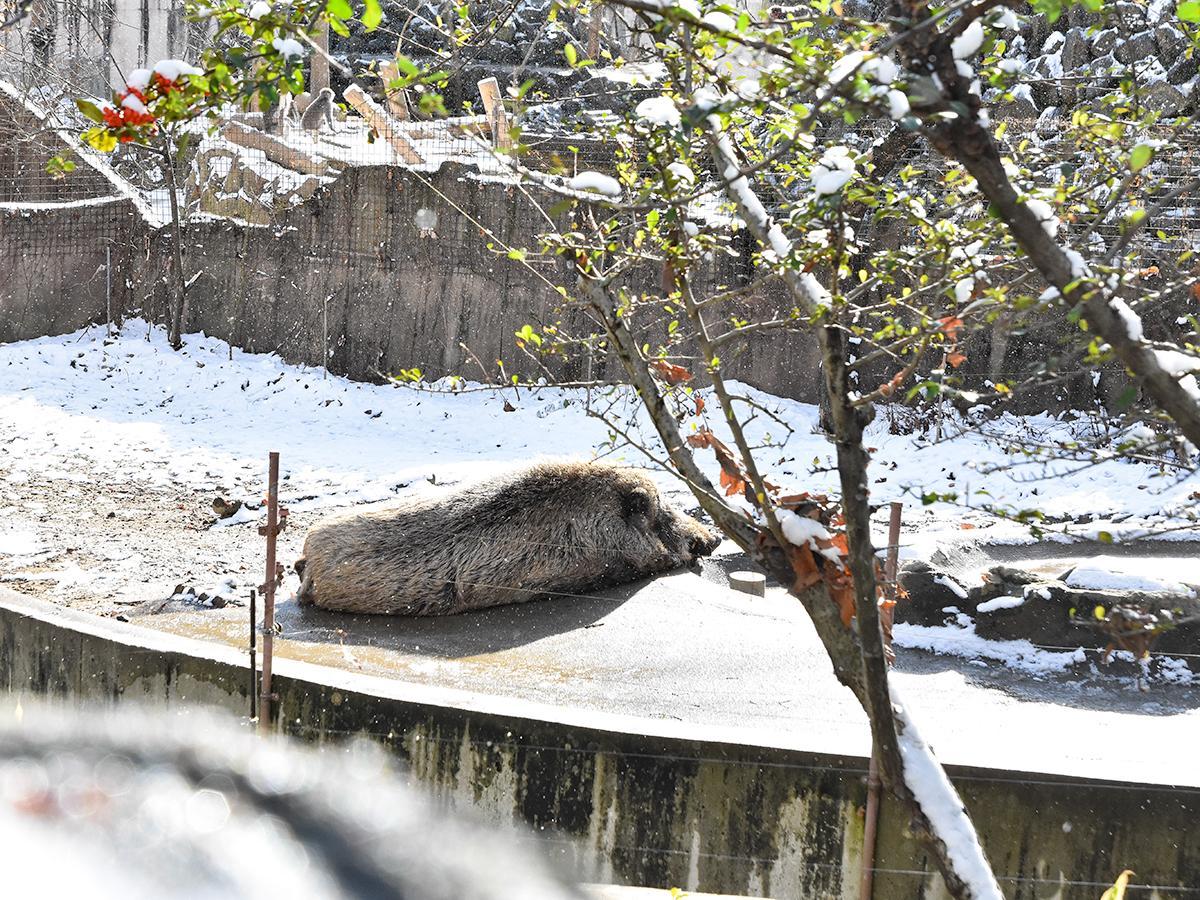 自分が主役となる新年を前に、休園中の動物園でゆっくり休むニホンイノシシのゲンイチロウ