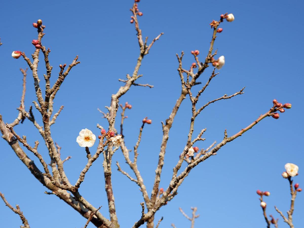 10輪ほどが開いた白色の梅「都錦」