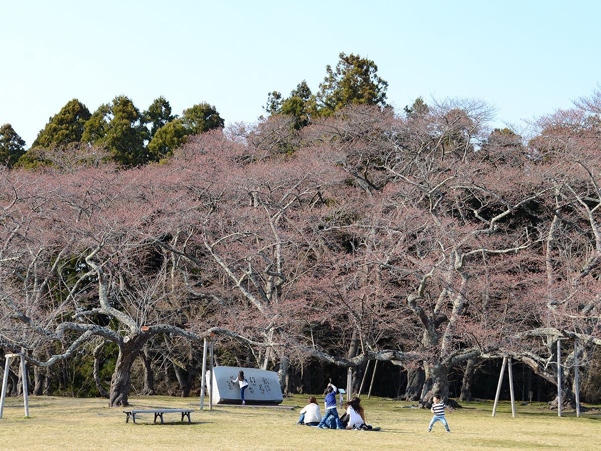 開花宣言のあった4月5日の三神峯公園。親子連れや学生グループ、年配の夫婦らが花見を楽しんでいた