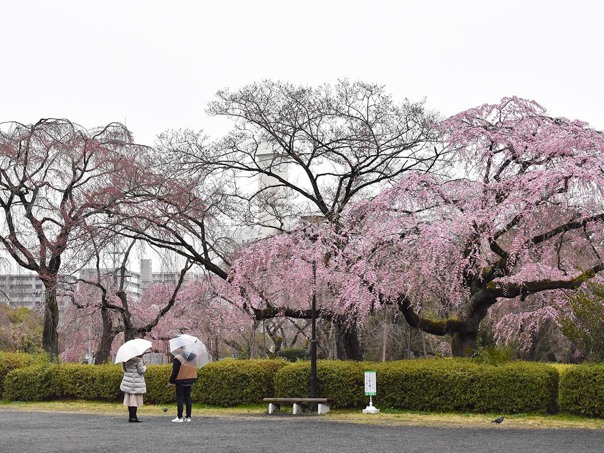 みぞれ交じりの冷たい雨が降った29日の榴岡公園