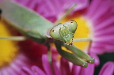 花にやってくる小昆虫を待つハラビロカマキリ。「構えの姿勢をとるハラビロカマキリ」(2006年、作家蔵)