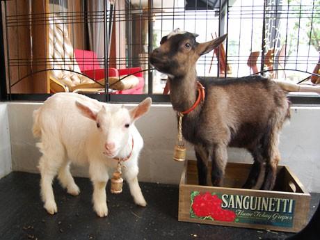 「桜丘カフェ」で飼育を始めた子ヤギの「さくら」(左)と「ショコラ」(右)